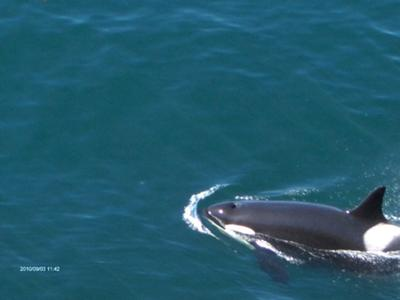 Orca whale around the San Juan Islands Washington